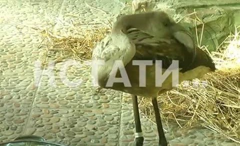 Фламинго заблудившихся и спасенных от морозов представили широкой публике