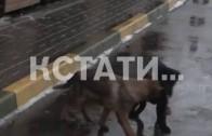 Собачья работа — сотрудники ГУВД показали как работают кинологи