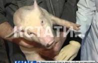 Чумовой барьер — из-за африканской чумы свиней в Нижнем Новгороде начали инспектировать