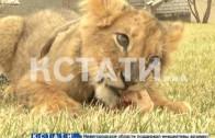 Настоящую львицу в качестве домашнего животного завел житель Сормовского района