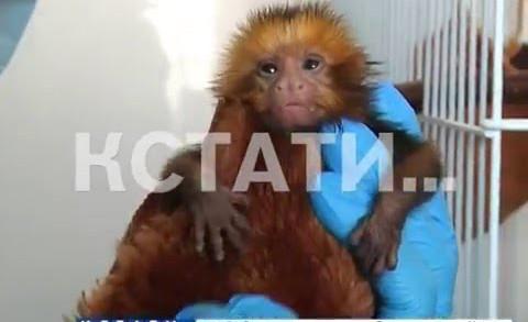 Стать приемной матерью для маленьких обезьян пришлось сотрудникам зоопарка
