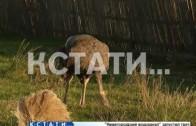 9 страусов арестованы в Шахунском районе
