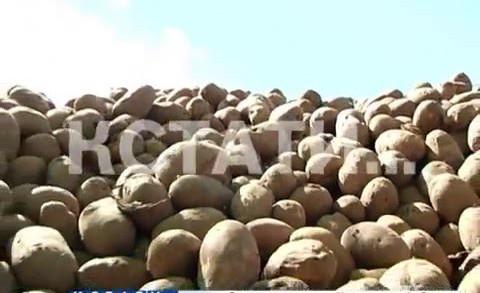 Продуктовый вандализм или вынужденная необходимость — тонны свежей картошки выбросили на поле