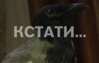 Ворону, полюбившую телепередачи, приручили жители Дзержинска