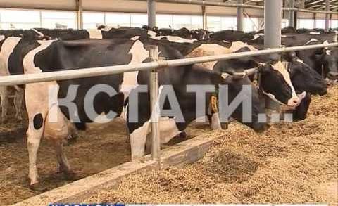 Инновационные ошейники для коров позволяют контролировать удой и самочувствие животных