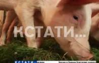Навашинский и Выксунский районы вступили в борьбу против африканской чумы свиней