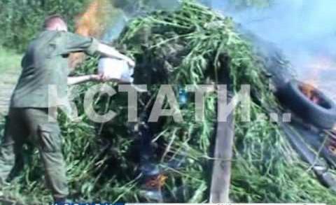 Плантацию конопли за колючей проволокой обнаружили полицейские в Володарском районе