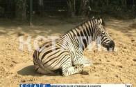Полосатый рейс — в нижегородский зоопарк прибыла парочка зебр