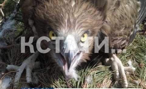 Уникальная находка орнитологов — в Володарском районе обнаружено гнездо ястреба-змееяда