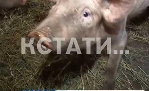 Африканская чума свиней продолжает наступление