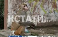 Сбежавшая обезьяна стала нападать на прохожих и кусать людей