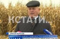 Рекордных надоев в Нижегородской области будут добиваться с помощью кукурузы