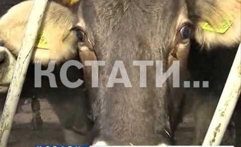 Нижегородская область стали лидером в ПФО по темпам роста производства мяса скота и птицы