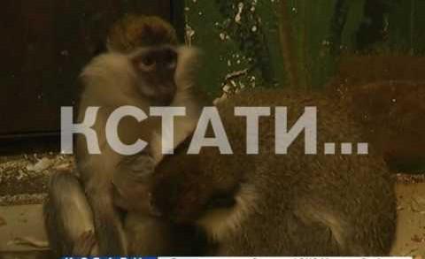 В конце уходящего года обезьяны нижегородские мартышки приподнесли сюрприз