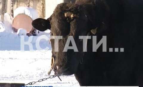Нижегородские коровы теперь будут выбирать себе пару по техническим показателям