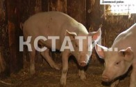 В этом году в Нижегородскую область пришла африканская чума свиней