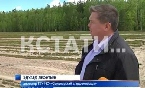 Сосновая посевная началась в Нижегородских лесах