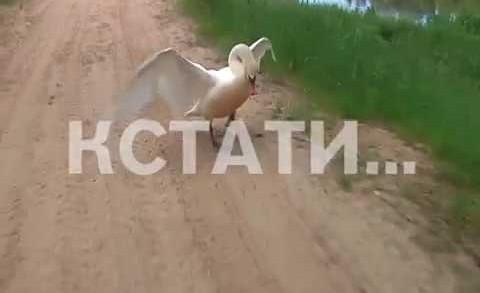 Лебедь напал на журналистов во время съемок сюжета о лесных столовых