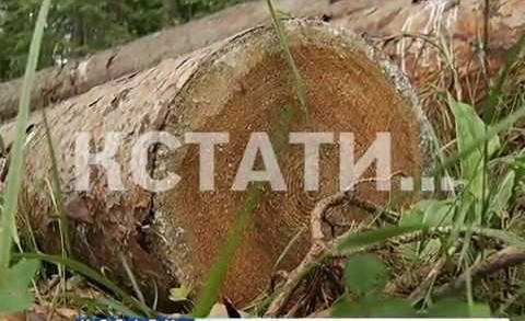 Неудачный распил — глава поселковой администрации арестован за вырубку памятника природы