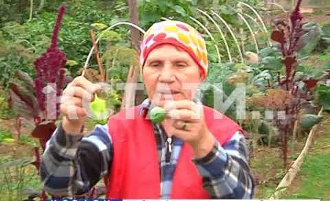 Неурожай обрушился на Нижегородскую область — холодное лето оставило садоводов без овощей и фруктов