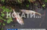 Замор в Кстовском районе — погибла не только рыба, но даже прибрежные птицы