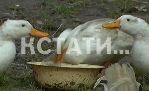Козы, утки и гуси поселились в центре мегаполиса