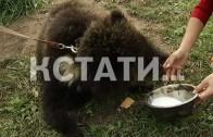 Хищное опекунство — жители Сергача взяли под опеку оголодавших живых медведей