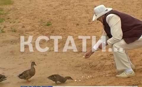 Дрессированные утки появились в Сормовском парке