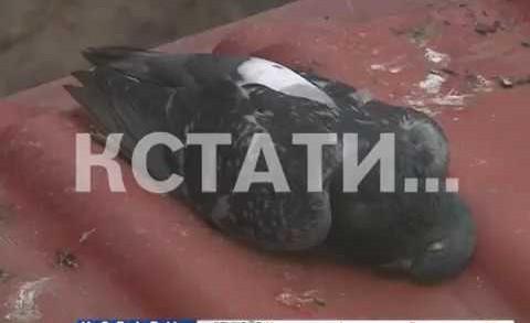 Массовая гибель птиц в Московском районе