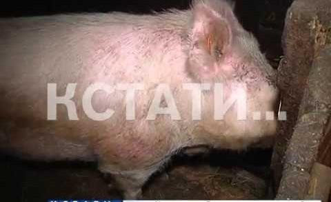 Из-за африканской чумы свиней уничтожат в фермерских хозяйствах Семеновского района