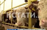 Смесь английского с нижегородским — мраморную говядину начали производить в нижегородской области.