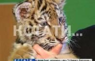 Сотрудники зоопарка из соски выкармливают брошенного тигренка