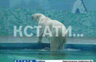 Первый белый медведь появился в Нижегородском зоопарке
