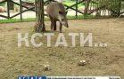 Травоядная гадалка — тапир из нижегородского зоопарка определила чемпиона мира по футболу