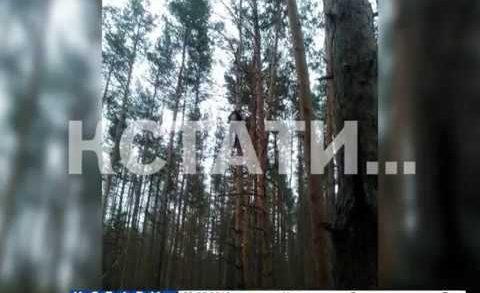 Несчастный случай на вершине сосны произошел в поселке Дубравный