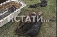 Кровавое побоище в Выксунском районе — на частном подворье насмерть загрызли 30 овец
