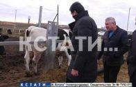 Новый животноводческий комплекс появится в Починках