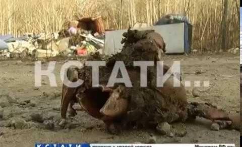 Свинское отношение — стихийный скотомогильник обнаружен в Лысковском районе