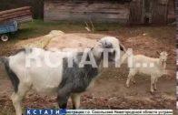 Тайна «нижегородской чупакабры» раскрыта — собаки растерзали убийцу домашних животных