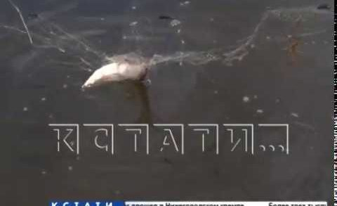 Чтобы скрыть улики, браконьеры попытались утопить пойманную рыбу