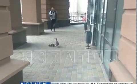 Утка с утятами парализовали движение в центре Нижнего Новгорода