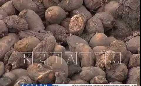 Гниющее пюре — сотни тонн картошки, не сумев продать, свалили в поле