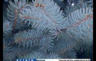 Голубую краснокнижную ель срубили и установили в качестве новогодней в Сокольском районе