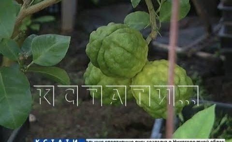 Самую большую коллекцию лимонов вырастила жительница Павлова