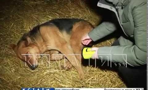 Череда собачьих расстрелов в Нижегородской области продолжается
