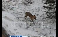Дикая лиса стала домашним животным в микрорайоне «Цветы»