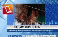Красные волки, отправленные в Костромской зоопарк, обживают свой вольер