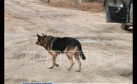 Лекарство для гибели — в Арзамасском районе начали массово травить собак