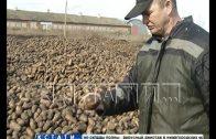 Сотни тонн картошки свалили гнить на поля в Арзамасском районе
