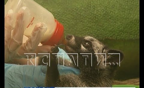 Сотрудники зоопарка стали кормящими матерями для африканского хищника